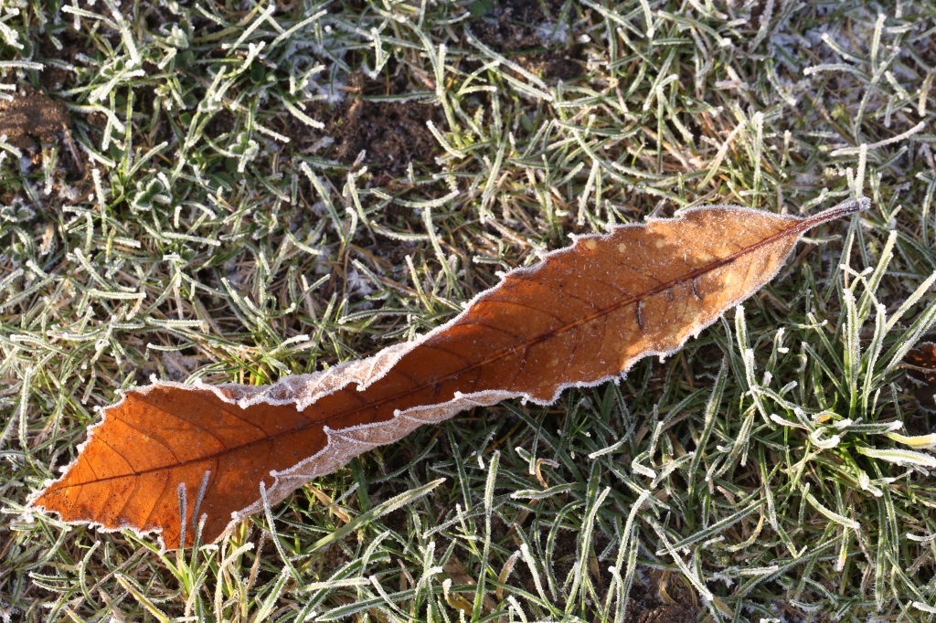 Sweet Chestnut Leaf