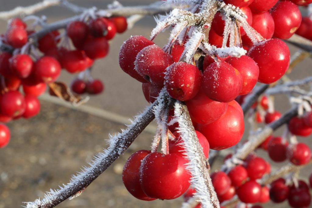 Winter Berries - my Christmas Card shot