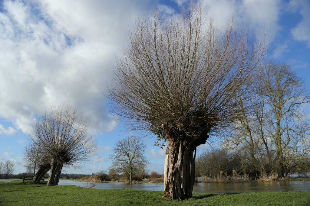 Pollarded Willows