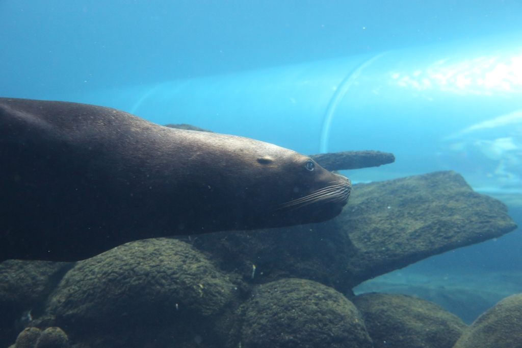 The female Patagonian Sealions were so graceful in the water - and put on some fabulous 'swimpasts' for us !