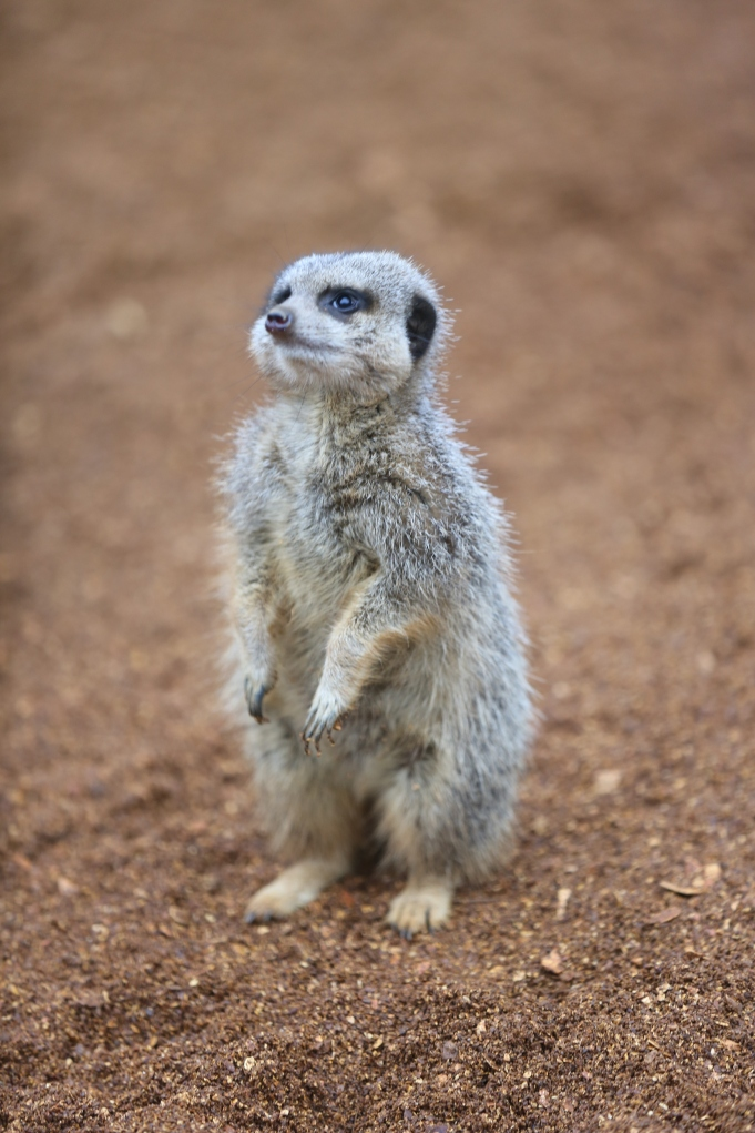....have to admit that I was desperate to capture one of the Meerkats standing uo...!