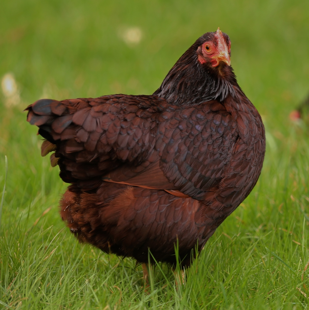This is Fluffy - a beautiful example of a Rhode Island Red - I believe her to be 'Head Hen Honcho'.....