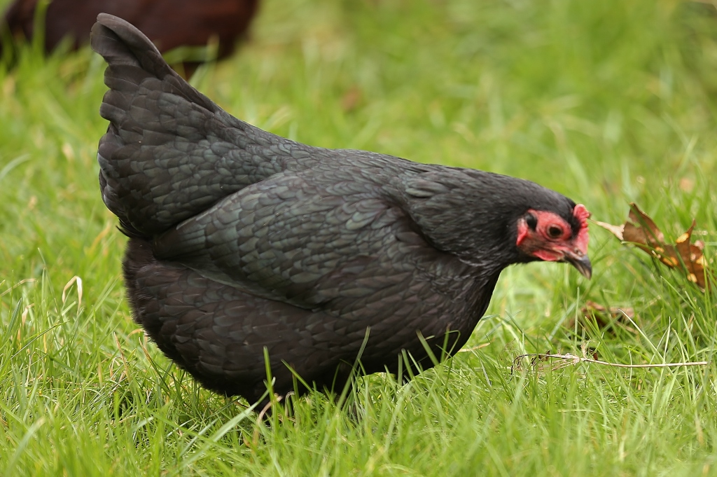 This is Beetley, a black Australorp - her name coming from the lovely green sheen to her feathers.