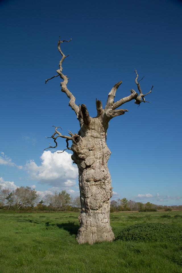 Mundon Tree 7 (7 of 1)