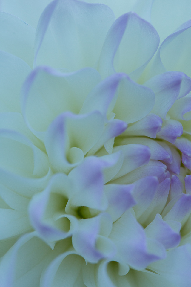 White Tinged Purple-17